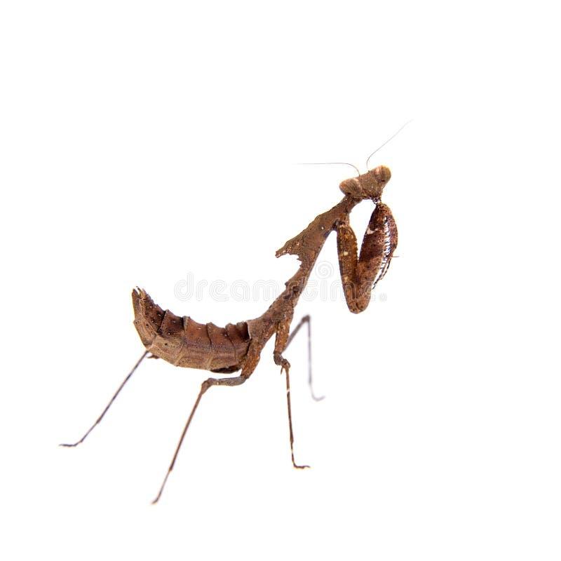 巨型死的叶子螳螂,在白色的Deroplatys desiccata 免版税库存照片