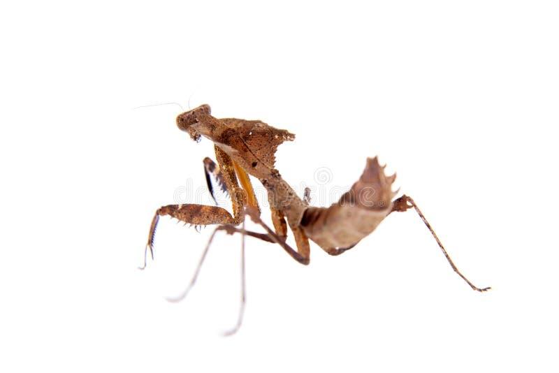 巨型死的叶子螳螂,在白色的Deroplatys desiccata 免版税库存图片