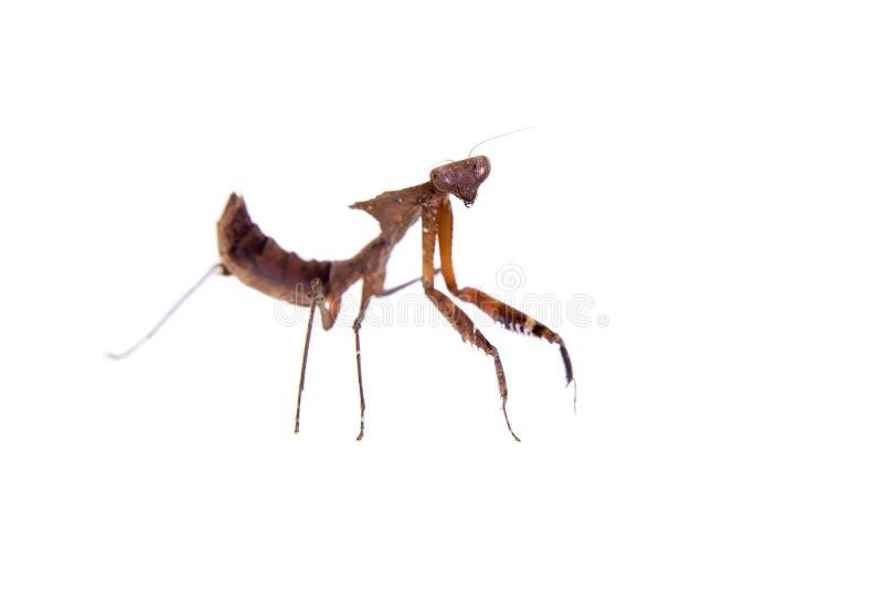 巨型死的叶子螳螂,在白色的Deroplatys desiccata 库存照片