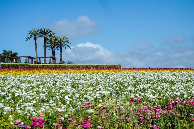 巨型毛茛属花卉生长在一个领域在与棕榈树的一好日子在距离 库存图片