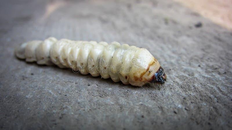 巨型毛虫大幼虫天牛科,在地面上是谎言调直的longhorned甲虫 柔光 C 免版税图库摄影