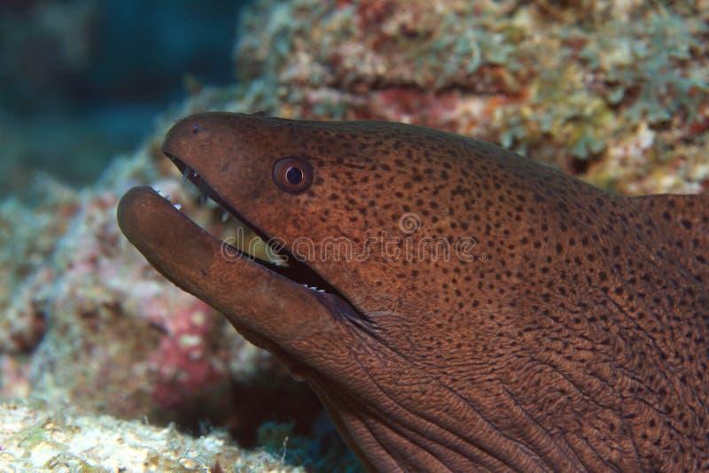 巨型海鳗 免版税库存照片