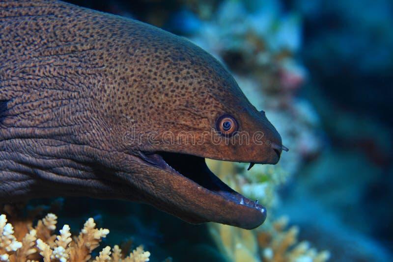巨型海鳗 图库摄影