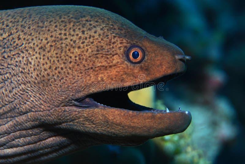 巨型海鳗 库存图片