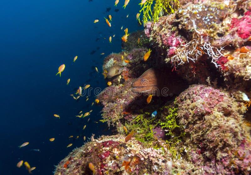 巨型海鳗& x28; Gymnothorax javanicus& x29; 马尔代夫 免版税库存图片