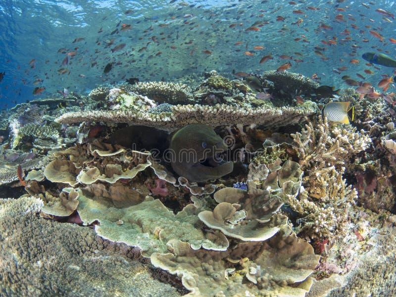 巨型海鳝和礁石鱼 免版税库存照片