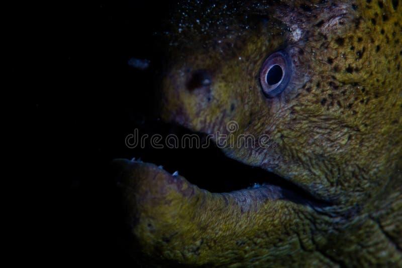 巨型海鳝在印度尼西亚 免版税库存图片