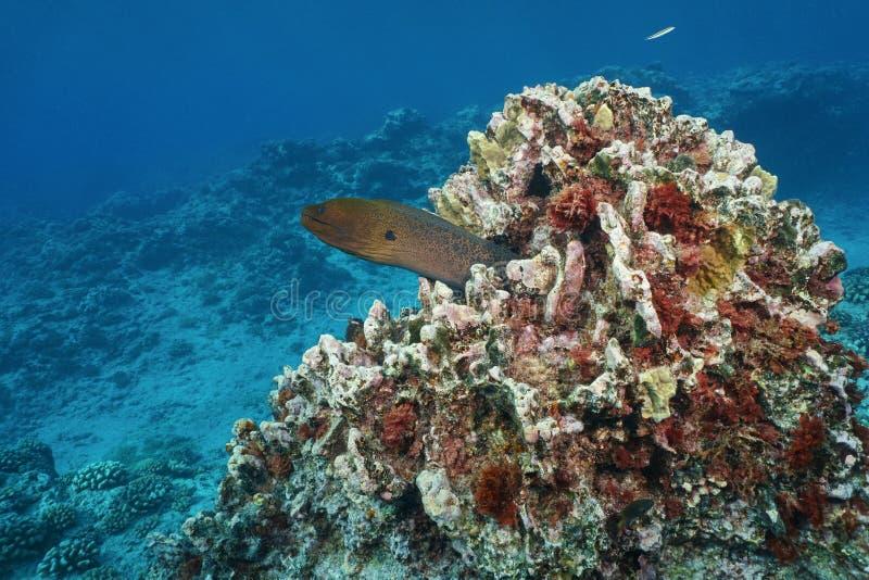 巨型海鳝水下的太平洋 库存照片