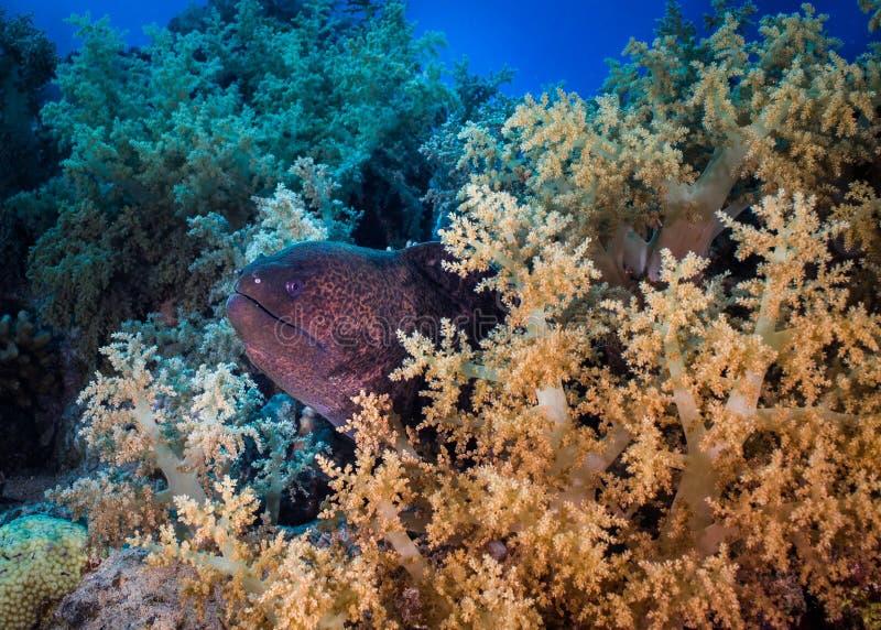 巨型海鳝Gymnothorax javanicus 图库摄影