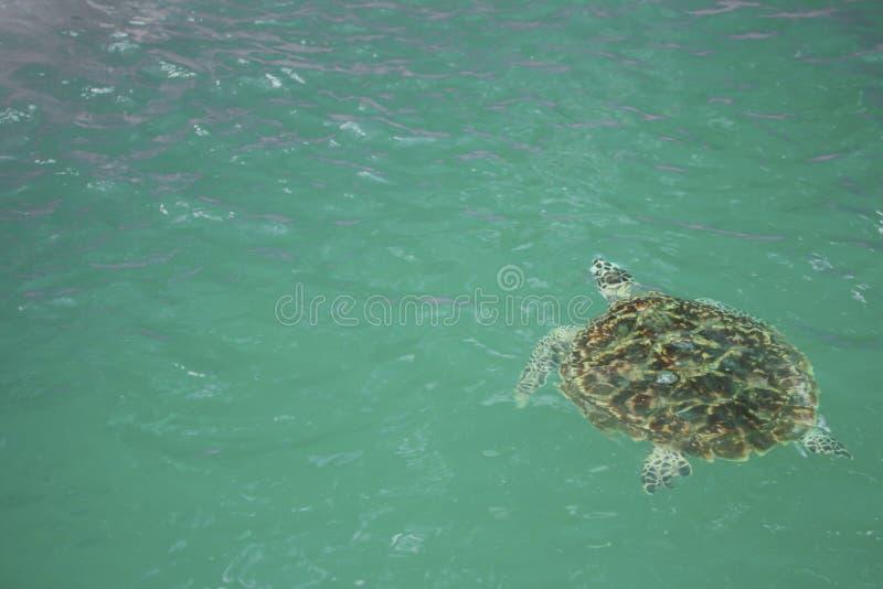 巨型海龟在乌龟保护坦克游泳 免版税库存图片