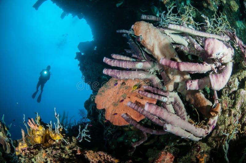 巨型海绵Petrosia lignosa、Aplysina cauliformis和Aplysina ficiformis在哥伦打洛市,印度尼西亚 免版税库存照片