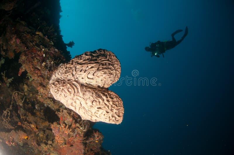 巨型海绵(Petrosia lignosa)是当地的对哥伦打洛市,印度尼西亚 它生长3米高度 它的告诉的萨尔瓦多・达利 免版税库存照片