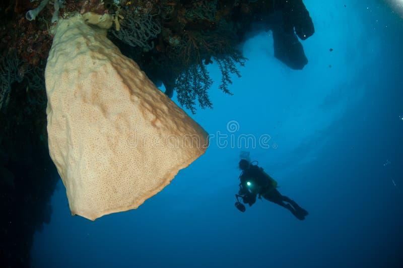 巨型海绵(Petrosia lignosa)是当地的对哥伦打洛市,印度尼西亚 它生长3米高度 它的告诉的萨尔瓦多・达利 图库摄影