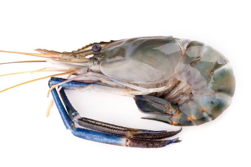 巨型淡水大虾,在白色背景的新鲜的虾孤立 图库摄影