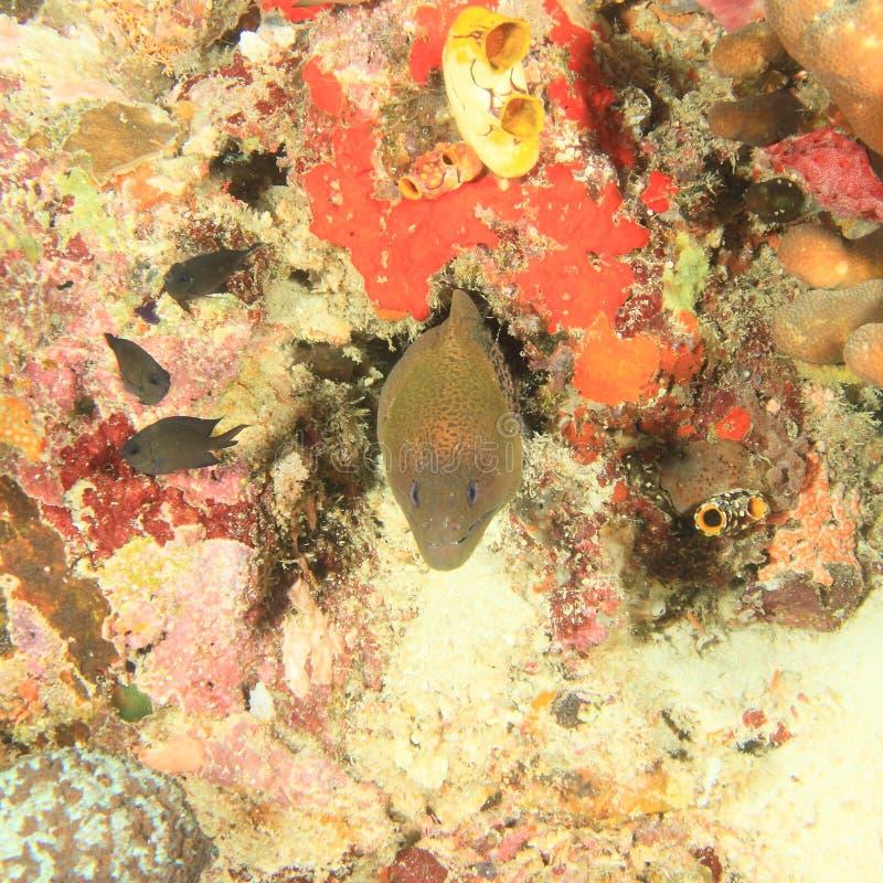 巨型港湾海鳗 库存照片