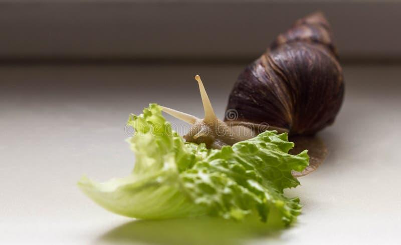 巨型热带棕色蜗牛吃在白色背景的Achatina绿色莴苣 与壳的蜗牛 软体动物特写镜头  免版税库存照片