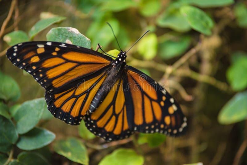 巨型热带蝴蝶丹尼亚斯plexippus 免版税图库摄影