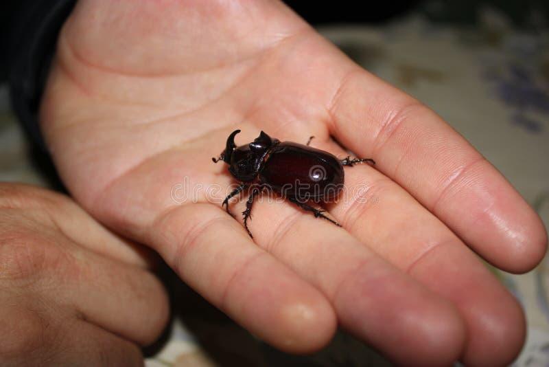 巨型犀牛甲虫在手中 库存图片