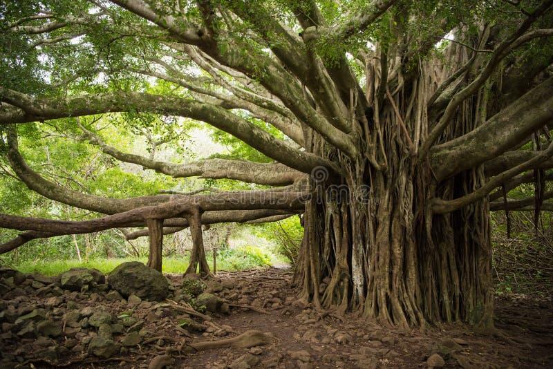 巨型的榕树在毛伊 库存照片