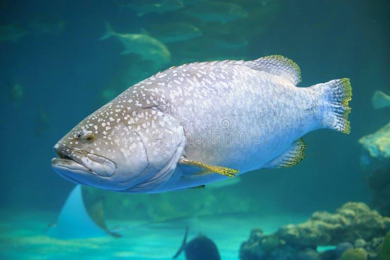 巨型石斑鱼 库存照片