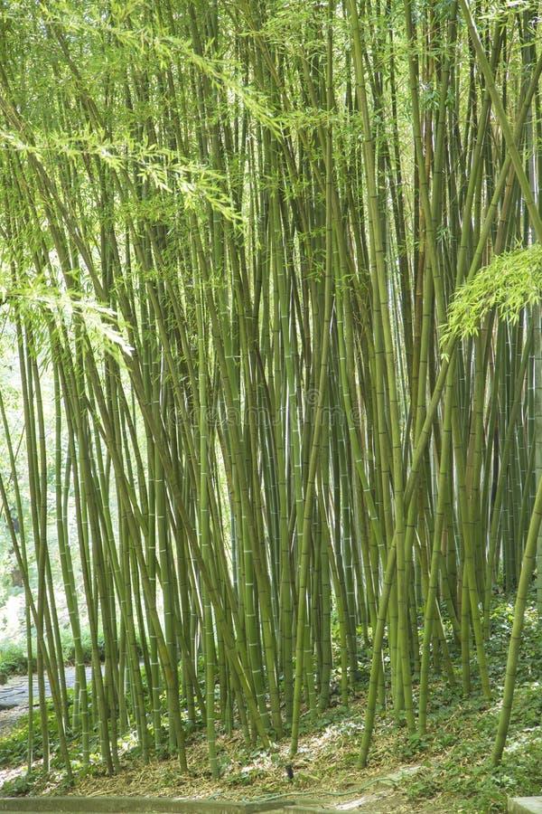 for Canne di bambu per pergolati