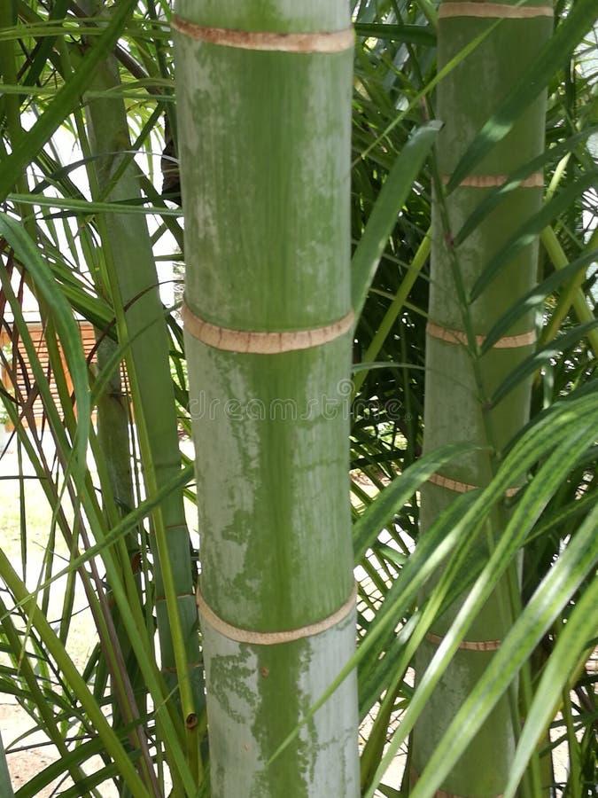巨型竹子 库存图片