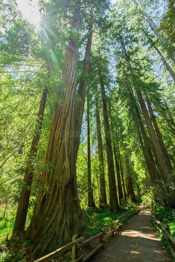 巨型红木在圣Francisc附近的Muir森林国家历史文物 免版税库存照片