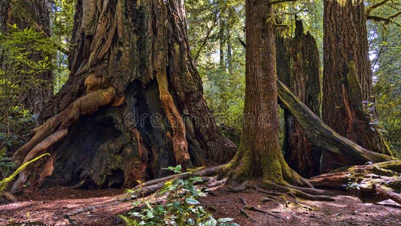 巨型红木树干 免版税库存照片