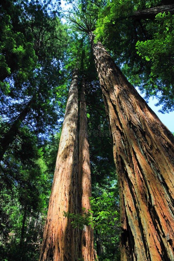 巨型红木树, Muir国家历史文物 免版税库存图片