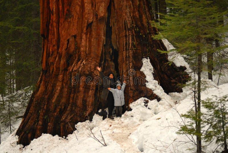 巨型美国加州红杉二 免版税库存照片