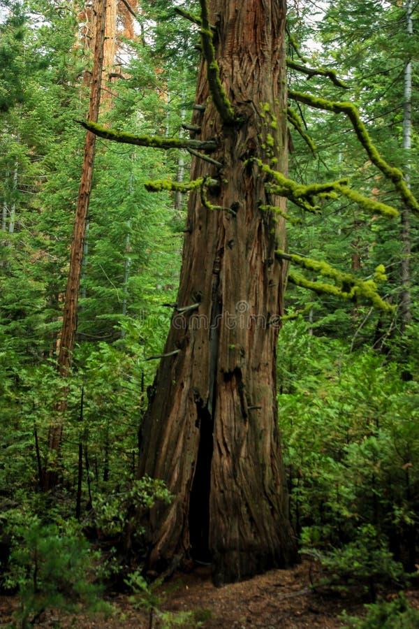 巨型美国加州红杉在森林,优胜美地国家公园里 免版税库存照片
