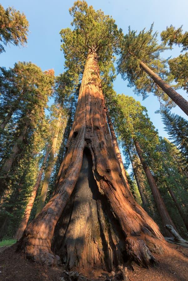 巨型美国加州红杉在美洲杉国家公园在加利福尼亚 免版税库存图片