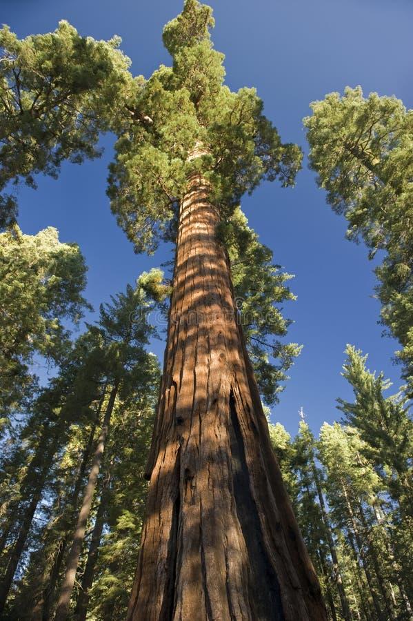 巨型美国加州红杉结构树 库存图片