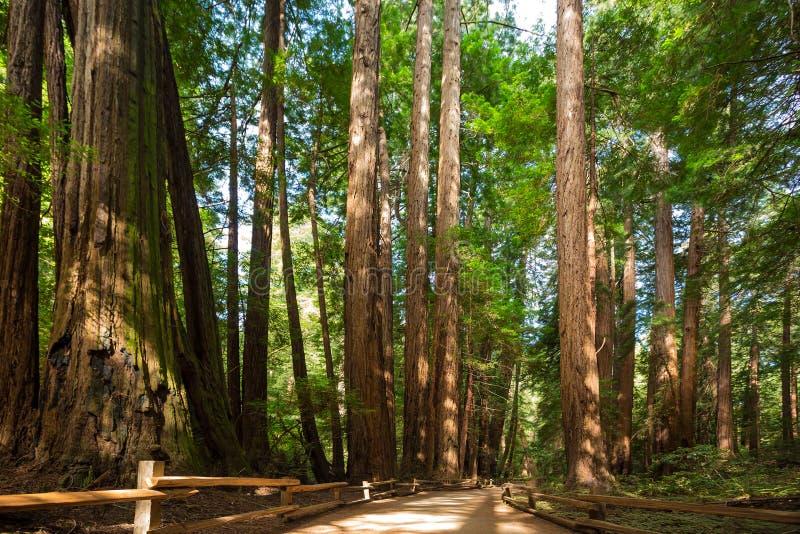 巨型美国加州红杉结构树 免版税库存图片
