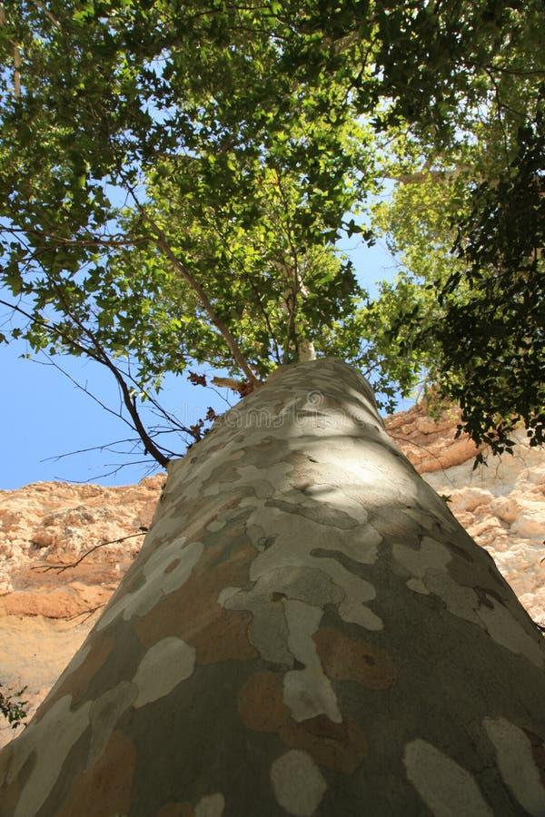 巨型美国梧桐树在亚利桑那 免版税库存图片