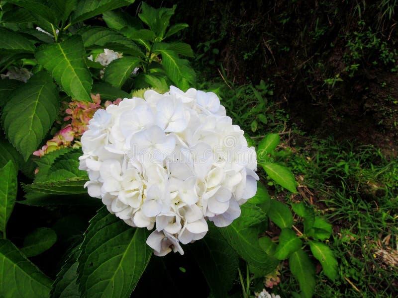 巨型苍白白色球形状八仙花属 库存图片