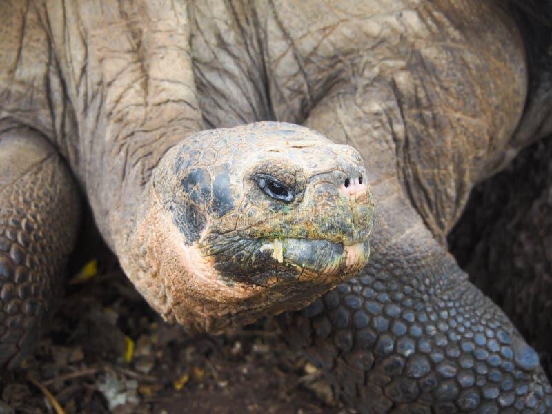 巨型草龟在加拉帕戈斯群岛,厄瓜多尔:旅行和旅游业 库存图片