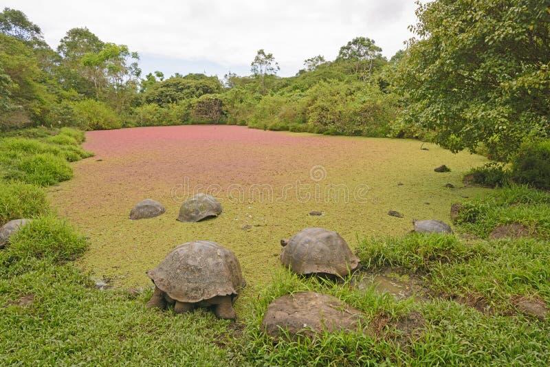 巨型草龟在用五颜六色的池塘一点点盖的一个浅池塘 库存图片