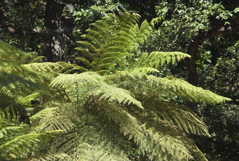 巨型蕨在辛特拉公园 库存图片