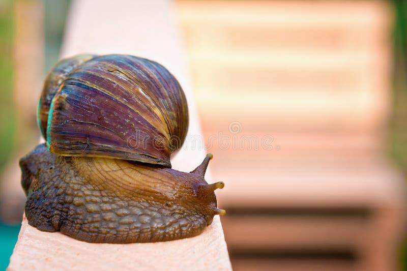巨型蜗牛- Achatina 库存照片
