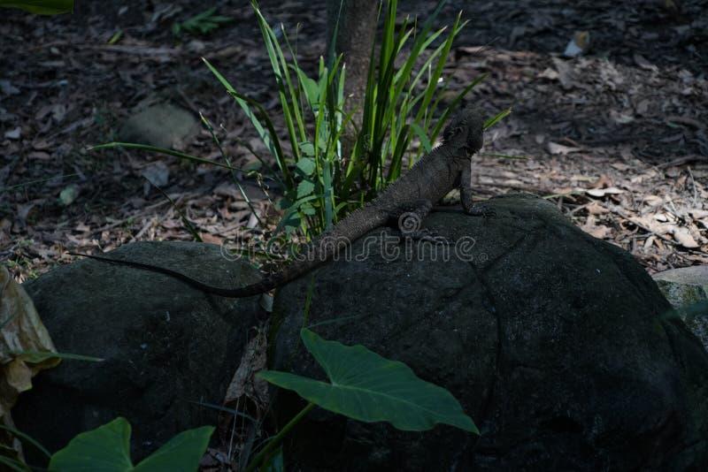 巨型蜥蜴后面画象  免版税库存照片