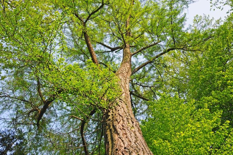 巨型银杏树 图库摄影