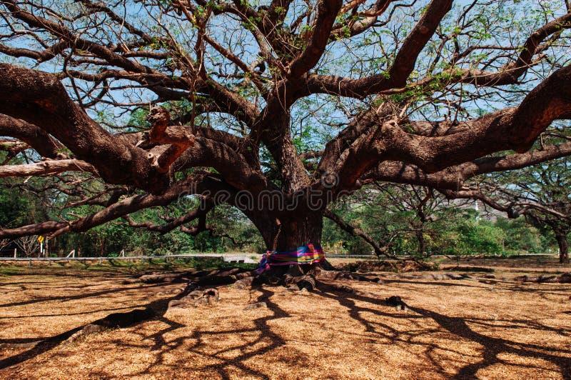 巨型雨豆树-超级大雨豆树-古老雨豆树- larg 免版税图库摄影