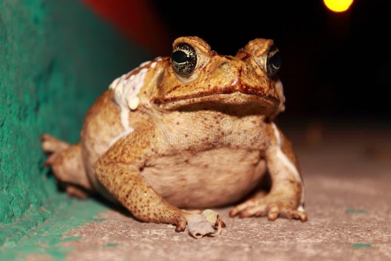 巨型青蛙 免版税库存照片