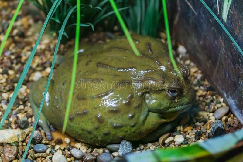 巨型非洲牛蛙 库存图片