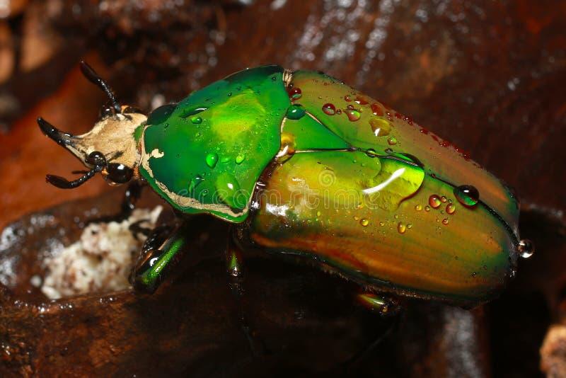巨型非洲花甲虫 免版税库存图片