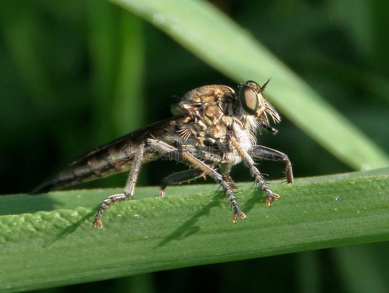 巨型飞行(巨型食虫虻) 图库摄影