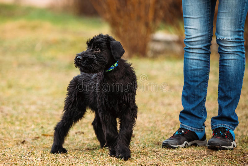 巨型髯狗或Riesenschnauzer的狗黑小狗室外 库存图片