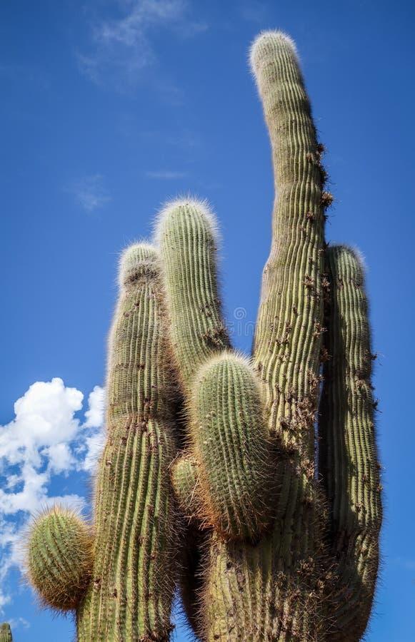 巨型仙人掌在沙漠,阿根廷 免版税库存照片