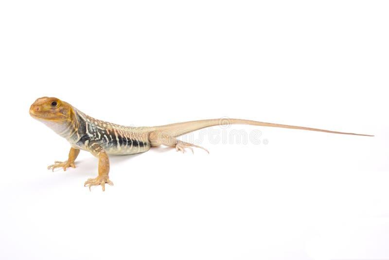巨型蝴蝶蜥蜴(Leiolepis guttata) 免版税库存图片